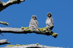 Two juvenile great grey owls in Yosemite national park. Recent research indicates that the Yosemite population is a genetically distinct subspecies of the California great grey owl. Photograph: AP