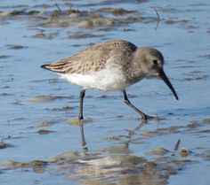Bird Photos, Birding Sites, Bird Information: NONBREEDING DUNLIN, TIGERTAIL BEACH, MARCO ISLAND,...