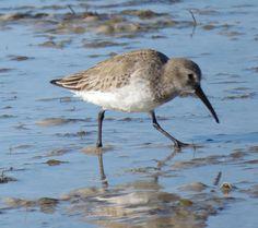 Bird Photos, Birding Sites, Bird Information: NONBREEDING DUNLIN, TIGERTAIL BEACH, MARCO ISLAND,...