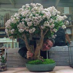 How to Grow a Jade Plant - Care Tips -Crassula Indoor Bonsai Tree, Indoor Flowering Plants, Indoor Flowers, Jade Bonsai, Succulent Bonsai, Cacti And Succulents, Suculent Plants, Jade Plant Care, Jade Tree