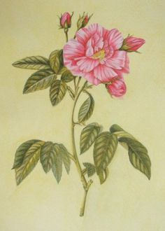"""Jules Cote' (18+ division)  from""""Great Flower Prints"""" page 16"""