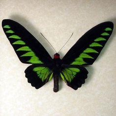 Birdwing Real Butterfly Brookes Birdwing by REALBUTTERFLYGIFTS, $79.99