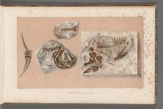 v. 4 (atlas) - Recherches sur les poissons fossiles ... / - Biodiversity Heritage Library. http://biodiversitylibrary.org/page/32033552. #FossilStories
