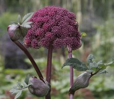 Angelica Flower, Colorful Garden, Pure Beauty, Outdoor Gardens, Dandelion, Pure Products, Creative, Flowers, Gardening