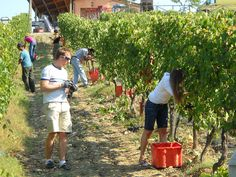 Grape harvest weekend