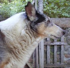 Smooth Collie, age 12