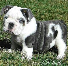 grey and white English bulldog pup