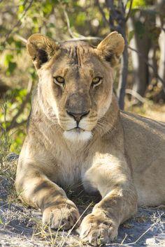 Dit keer geen leeuwenkoning, maar een leeuwenkoningin! (Foto: leeuw - Ilaria T.)