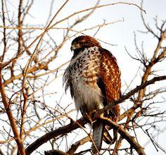 Majestic Hawk  by KoolPix, via Flickr