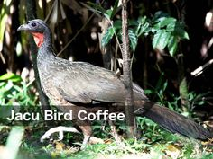 Exotic Coffee Beans refer to coffee that has been processed in some way by animals and then made into drinking coffee. This changes the flavor of the coffee Coffee Type, Black Coffee, Types Of Coffee Beans, Coffee Drinks, Exotic