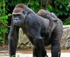 Western Lowland Gorillas of West Africa. Going for a walk with Mum - Critcally Endangered