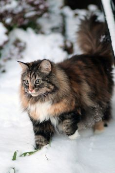 Oh look snow...I can handle it....I'm big, I'm bold, I am a Maine Coon cat or This may be a Norwegian Short leg.