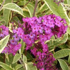 Un feuillage panaché pour un Buddleia L'arbre à papillons 'Harlequin' porte de grands épis pourpres parfumés, parfaits en bouquets.Ses feuilles vertes sont panachées de jaune crème. L'odeur agréable de ses fleurs attire les papillons, d'où son nom. L'arbre aux papillons 'Harlequin' se plaira dans vos jardins ensoleillés. Découvrez aussi ►Tous nos Arbres à papillons Comment planter un Arbre à papillons 'Harlequin' ?