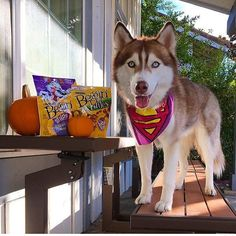 It's almost #Howloween!! Use the hashtag to show us how your pup is celebrating this year! We'll be featuring our favorites leading up to October 31st. @beggin will you help you celebrate with $2 off a 25 oz bag of Beggin. Tap the link in our bio/profile to claim and print your coupon. @lilothehusky AKA Superdog is spending #howloween beggin for more @beggin. #sponsored #dogsofinstagram #photooftheday #pet #pets #animals
