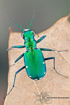 Six Spotted Tiger Beetle By Colin Hutton Photography