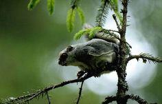 Liito-orava on EU:n suojissa, vaikka eläin ei ole enää uhanalainen Flying Squirrel, Bald Eagle, Finland, Wildlife, Bird, Squirrels, Animals, Self, Pray