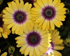 New Plant and Flower Varieties for 2015 : 'Blue Eyed Beauty' Osteospermum A stunning contrast of purple center and yellow petals distinguish this new BallFlora Plant introduction. Osteopermum 'Blue Eyed Beauty' blooms with early spring color and unlike many osteospermum, these blooms stay wide open.