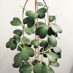 """Details about  /HOYA CARNOSA /""""KRIMSON PRINCESS/""""  **Well-Rooted Plant**"""