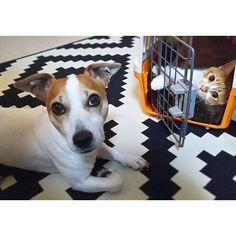 「ふっふっふっ。 ねーちゃんのベッドはうばったにゃん。 ねーちゃんのものはぼくのもの。 ぼくのものはぼくのものーーーー!」 . 「解せぬ」 . #ふかふか気持ちいいらしい  #なかなか出てこない #解せぬ #仲いいのか悪いのか #犬と猫 #トランプはん #クレー君  #ジャックラッセルテリア #jackrussellterrier #jrt  #猫 #猫様 #ぬこ#ぬこ部 #茶トラ #ふわもこ部 #ペコねこ部 #catkanae_t_k2016/02/14 21:01:10