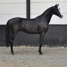 Paarden te koop: Braccio