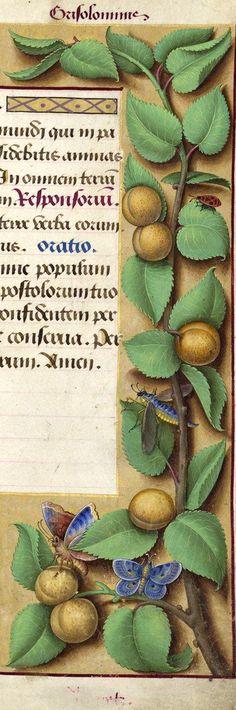 Abricotz - Grisolominis (Armeniaca vulgaris T. = abricots. Les fruits n'ont pas leur grandeur naturelle ; c'est ce qui fait que Decaisne a cru reconnaître ici les «Prunes de mirabelles») -- Grandes Heures d'Anne de Bretagne, BNF, Ms Latin 9474, 1503-1508, f°170r