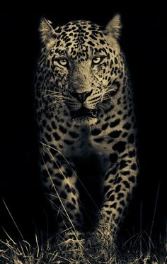 Love this pic of the leopard