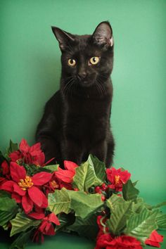 McGyver is an adoptable Cat - Domestic Short Hair