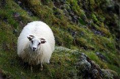 Kosy Sheep (@kosy_sheep) | Twitter