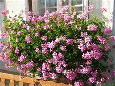 Pelargonium peltatum (Geranien hängend)