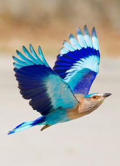 Indian Roller: When the 'Neelkanth' / Indian Roller (Coracias benghalensis) is in flight, the most glorious of all blue feathers - the bright-blue, turquoise and indigo are all visible in their full majesty. The bird is best known for the aerobatic displays of the male during the breeding season.- Photo by Hansu Nahar
