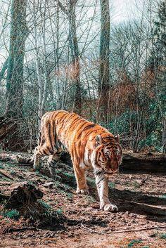 Velké tygří porno