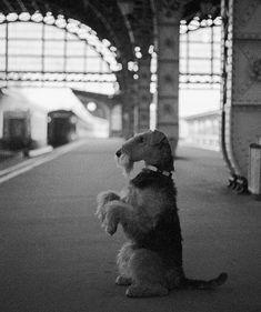 Vitebsky Railway Station, Saint Petersburg. Airedale Terrier Rusja.
