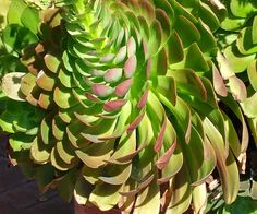 Stunning Succulent--Aeonium About To Bloom!  Geranium Street Floral - Google+