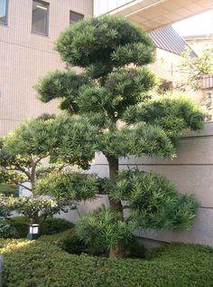 Shrub ID: Podocarpus macrophyllus  Yew pine