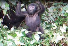Un adorable bebé gorila ha subestimado por completo su propia fuerza y cuando se golpeó el pe...