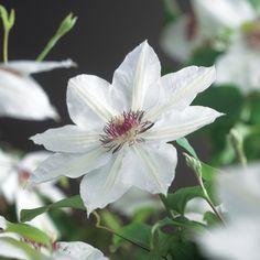 U bent op zoek naar een Clematis 'Miss Bateman' (bosrank)? Tuincentrum Maréchal! ✔ Eigen kwekerij ✔ LAGE prijzen ✔ Uitgebreide planteninformatie