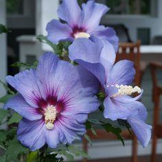 Azurri Blue Satin® - Rose of Sharon - Hibiscus syriacus | Proven Winners
