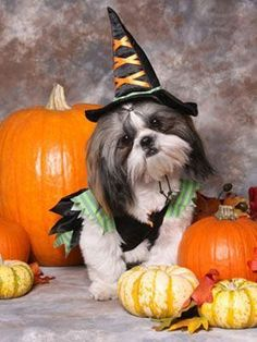 This little Shih Tzu is ready for Halloween with her wtich hat and coat. Pet Halloween Costumes, Animal Costumes, Pet Costumes, Dog Halloween, Happy Halloween, Halloween 2019, Shih Tzus, Shih Tzu Puppy, Cute Puppies