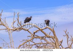 Low angle shot of a pair of black vultures at the top of leaveless tree against blue sky background