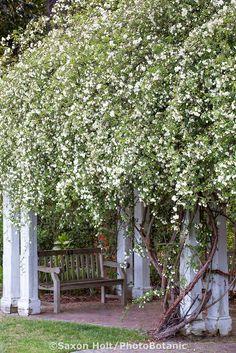 White flowering climbing Banks Rose covering pergola with bench at Norfolk Botanical Garden