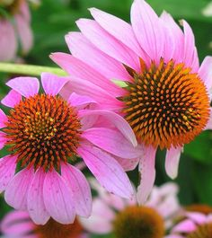 Coneflower - Still back for the third year. Gotta split this year. Still my favorite.
