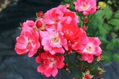 7/9(土)バリ島ウブドのお天気は晴れ。室内温度28.4℃、湿度71%。美しいピンク色のインドネシアンローズ。凛とする姿がとても素敵です!