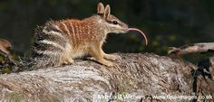 Endangered Species of the Week: Numbat