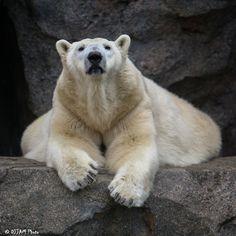 https://flic.kr/p/DUkha8 | Cincinnati Zoo 2-23-16-3235 | Polar Bear