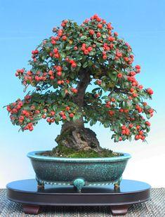 Bonsai Fruit Tree, Bonsai Tree Types, Bonsai Plants, Bonsai Garden, Fruit Trees, Ikebana, Cotoneaster Bonsai, Bonsai Mame, Plantas Bonsai
