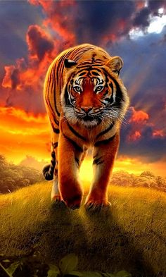 Tiger tiger, burning bright by rachidmiliani1 on Flickr.