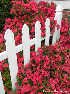It's Azalea time in the Carolinas! Even at Mack and Mack!