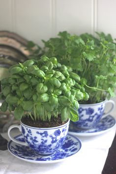 Basil planted in teacups for the kitchen, cheap and pretty teacups planted with fresh herbs on the window sill...