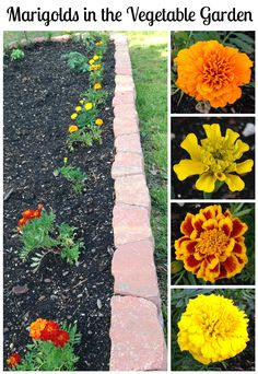 the Vegetable Garden? Marigolds in the Vegetable Garden? Learn why you should add these pretty annuals to your vegetable bed!Marigolds in the Vegetable Garden? Learn why you should add these pretty annuals to your vegetable bed! Marigolds In Garden, Veg Garden, Garden Care, Edible Garden, Garden Plants, Garden Types, Vegetable Gardening, Flowers In Garden, Growing Marigolds