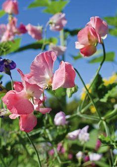 Groszek cukrowy w postaci zielonych niedojrzałych nasion jest słodki, bez przeszkód można zjadać jego strąki w całości. Fot. shutterstock #groszek #ogród #siew #kwiecień #wiosna #cukrowy #rośliny #nazwy #country